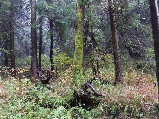Lichkov - lesní porost nad dělostřeleckou tvrzí Bouda