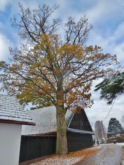 Záchlumí - dub u stodoly před zvoničkou