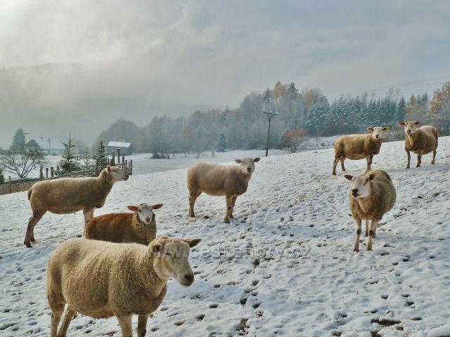 Záchlumí - ovce na úpatí Chlumu