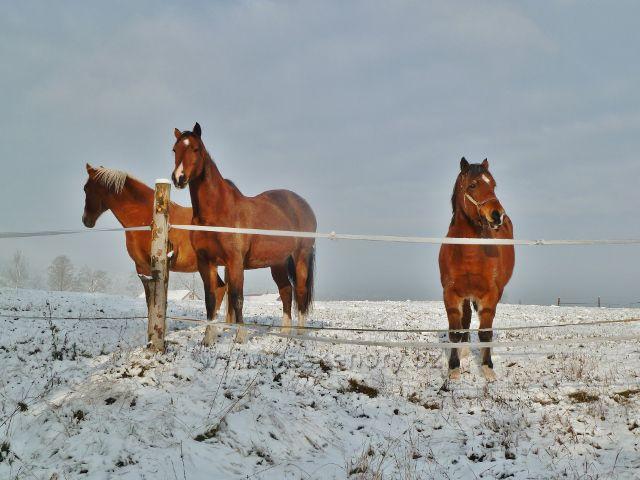 Záchlumí - koně ve výběhu na úpatí Chlumu
