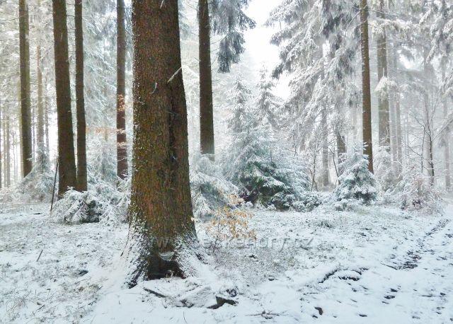 Záchlumí - lesní porost na vrcholu Chlumu