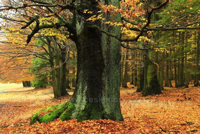 Bučiny starý strom