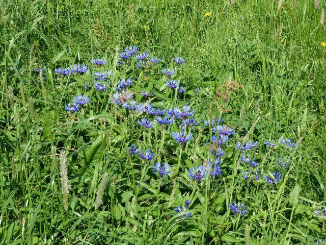 Modré květy chrpy na okraji pastviny pod rozhlednou na Valu