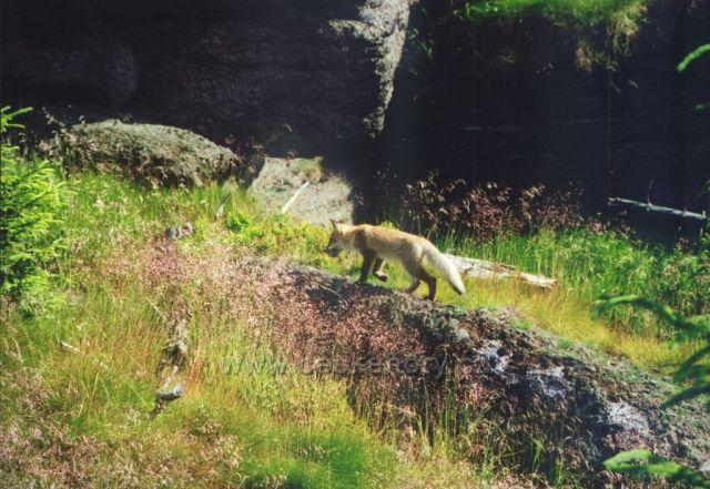 liška na Paličníku