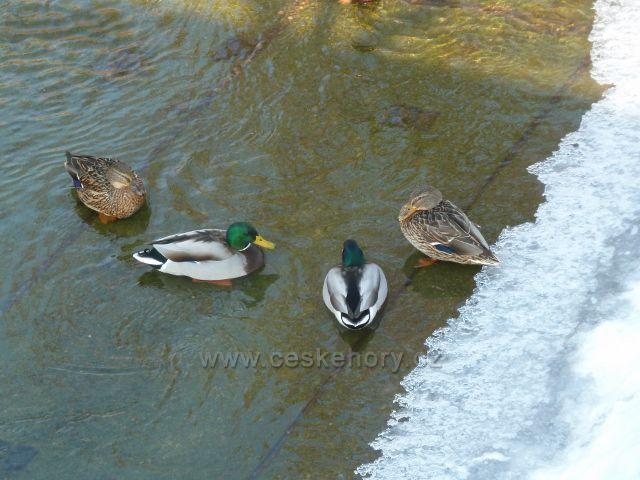 Letohrad - kachny na Dlouhoňovickém potoce