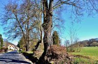 Podhradí-Lípa srdčitá-památné stromy