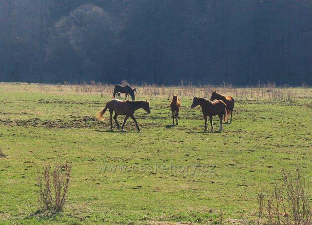 Koně na pastvě u Bojanova