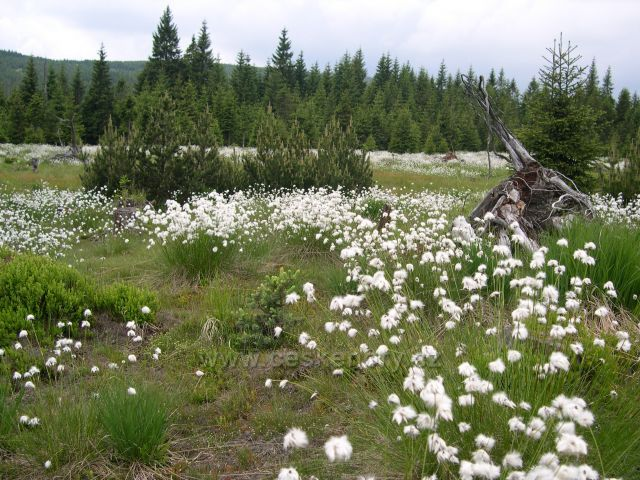 Jizerské hory - suchopýr u rašeliniště na Jizerce