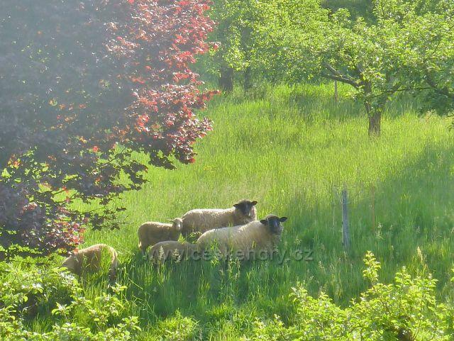 Albrechtice - ovce na pastvě
