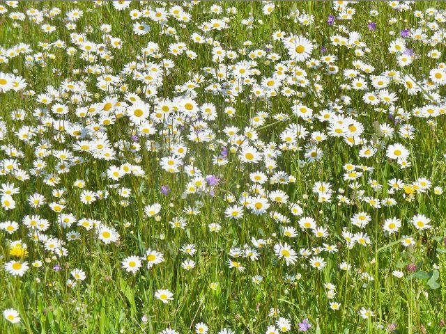 Albrechtice - rozkvetlá louka na břehu Moravské Sázavy