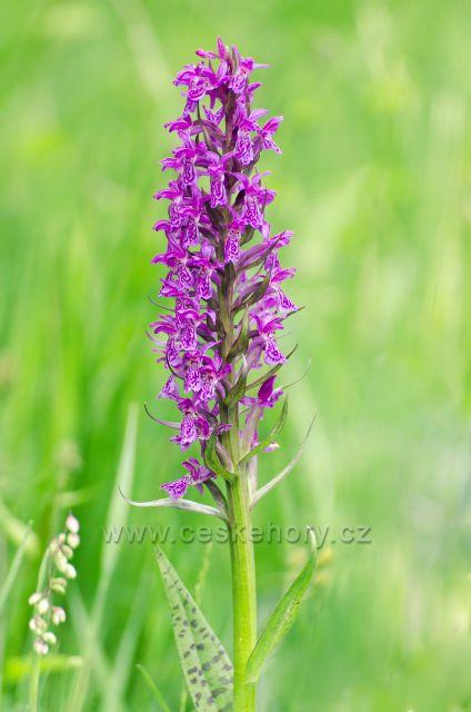 Prstnatec májový - ohrožený druh vstavačových rostlin,který kvete na konci května a začátku června a vyskytuje se na mokrých až bažinatých místech.