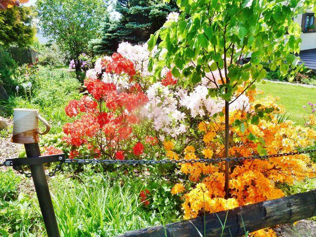 Jamné n.O. - pozdní květy pěnišníků v podhorské zahrádce