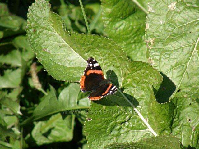 motýl a křen