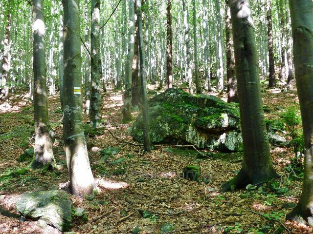Cesta po žluté TZ z Videlskéhob sedla k rozcestí Černík vede převážně bukovým lesem