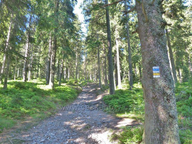 Cesta po žluté a modré TZ z rozcestí Černík na Švýcárnu, v lesním podrostu převládá borůvka