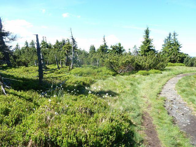 Cestu po vrcholu Malého Děda lemují ostrůvky suchopýru