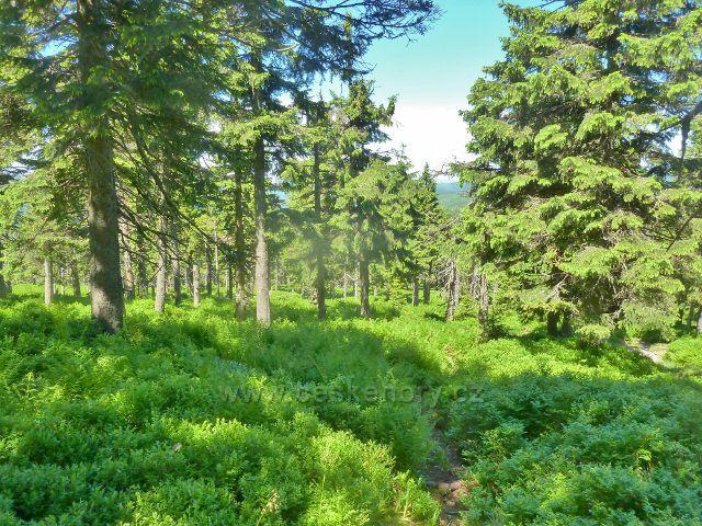 Lesní podrost kolem sestupové cesty k Malému Jezerníku tvoří zčásti borůvka