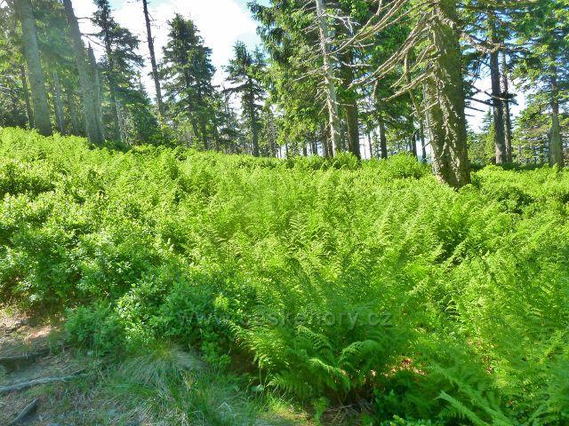 Lesní podrost kolem sestupové cesty k Malému Jezerníku tvoří rovněž kapraď samec