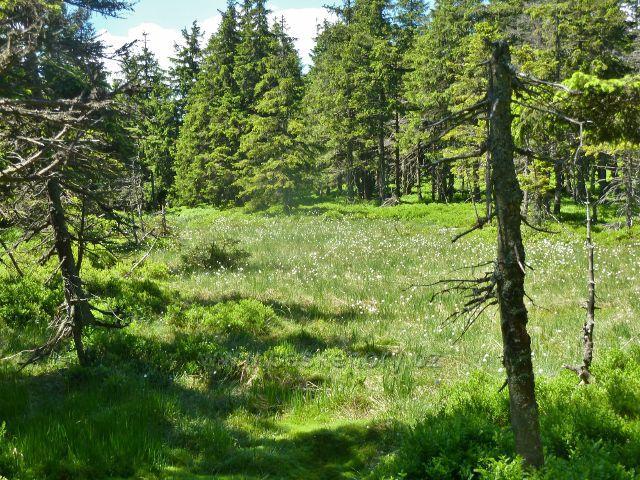 Malý Jezerník - rašeliniště s porostem suchopýru