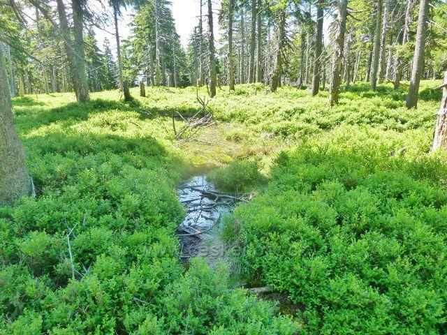 Malý Jezerník - rašeliniště s podrostem borůvky