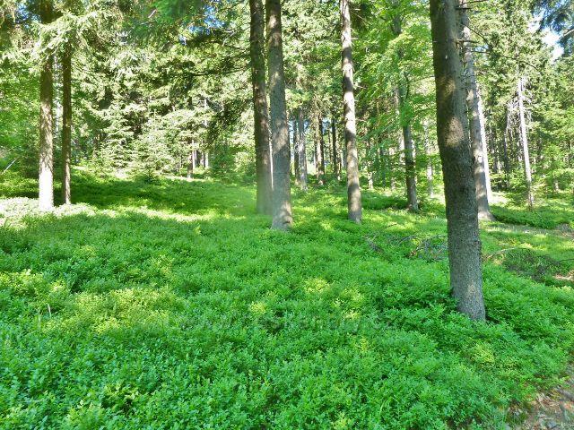 Ostružná - lesní porost s podrostem borůvky podél cesty z Ostružníku na Císařskou boudu
