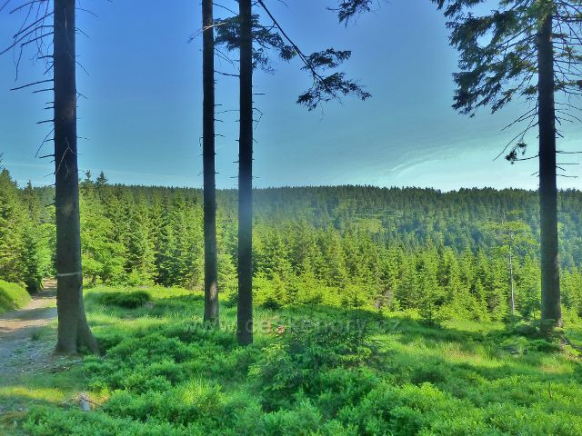 Ostružná - lesní porost pod cestou k Císařské boudě na úbočí Trnové hory