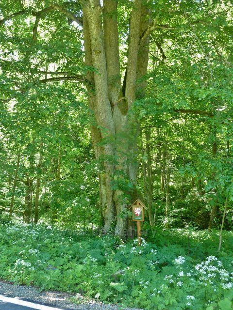 Velké Vrbno - památná lípa proti chatě Olšanka