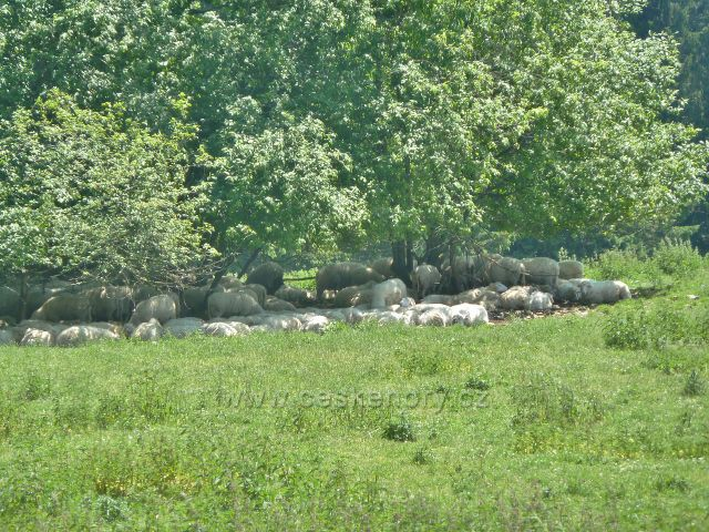 Ostružná - ovce na pastvině pod bývalou Bídou