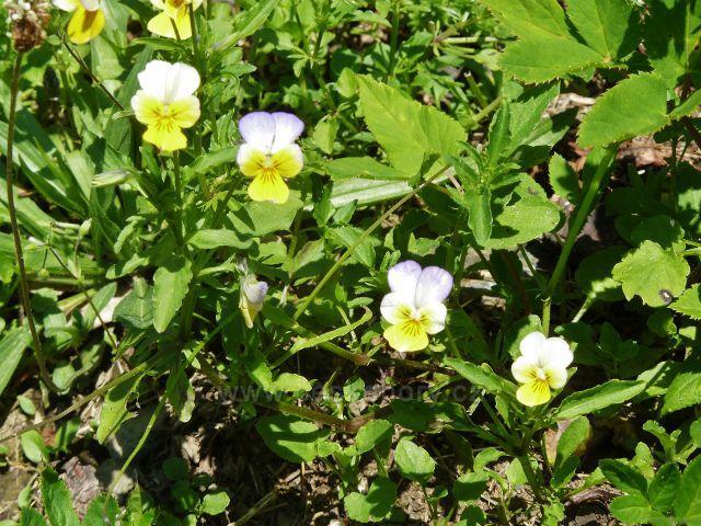 Cestu do Ostružné lemují květy violky žluté,sudetské