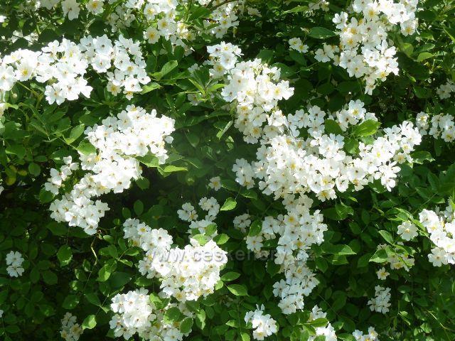 Lázně Jeseník - kvetoucí tavolník podél svahu Kalvodovy uličky