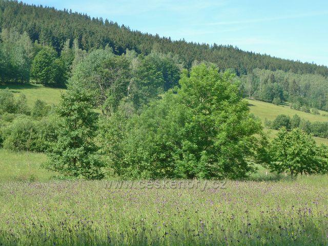 Nové Losiny - porost bodláku na Přemyslovském sedle na úpatí vrchu Tři kameny