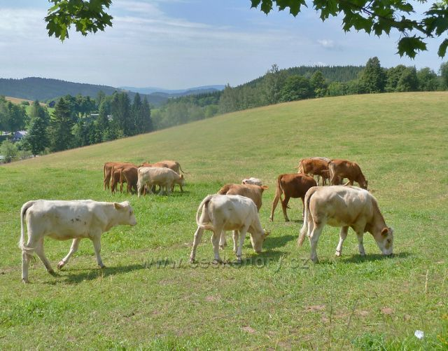 Horní Hedeč - pastva skotu na Mariánském kopci