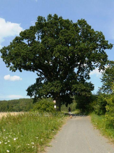 Třistaletý dub u Nového Malína