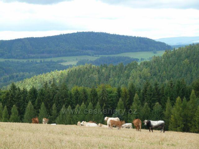 Pastva skotu nad Jamným nad Orlicí. V pozadí  je vrch Studený (721 m.n.m.)