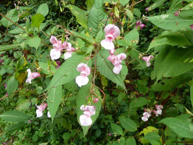 Vamberk - květy netýkavky žlaznaté u cesty k rozcestí Libštejn