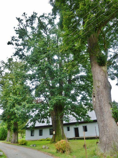 Rybná nad Zdobnicí - památné stromy nad rybníčkem u cesty po zelené TZ z Chlumu