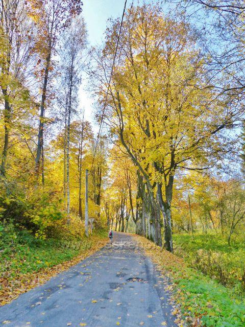 Chrastice - javorová alej podél silnice nad křižovatkou