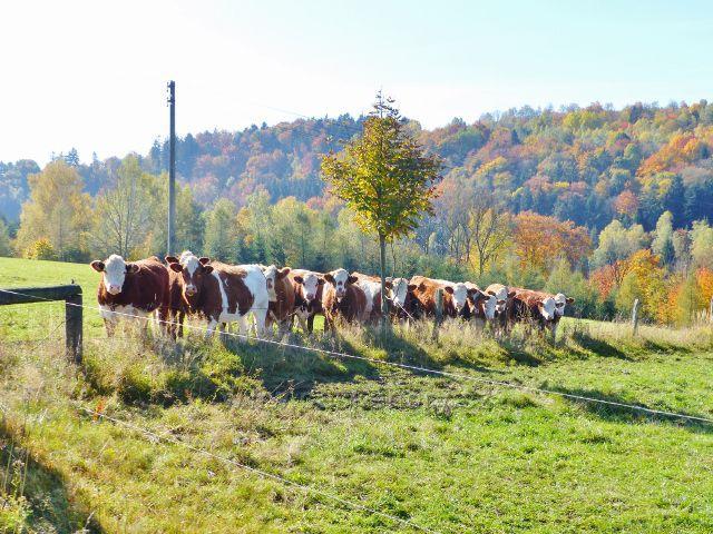 Chrastice - pastva skotu na chrastických pastvinách