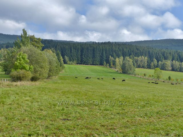 Nové Losiny - pastva černého skotu na pastvinách Přemyslovského sedla