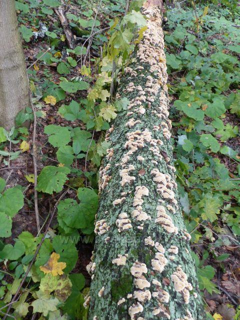 Dřevokazná houba anýzovník vonný na zlomeném listnatém kmenu v porostu u silničky z Přemyslova do Loučné nad Desnou