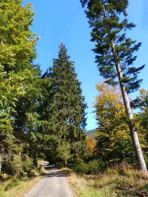 Druhý památný strom(smrk) u silničky podél Klepáčského potoku
