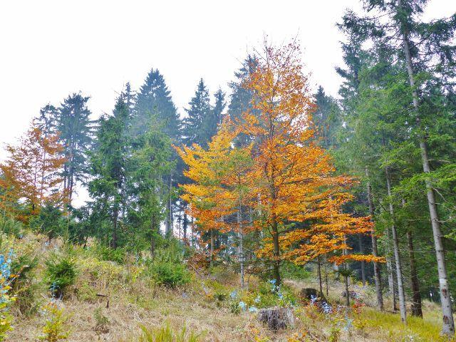 Vysoký Potok - ochrana lesních kultur(modrý nátěr) proti okusu zvěří na úbočí Jeřábu