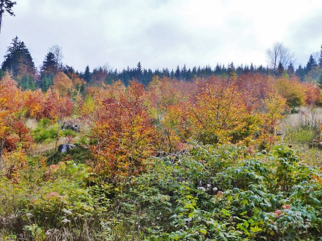 Vysoký Potok - bukový nálet nad silničkou od Severomoravské chaty k Vysokému Potoku v podzimních barvách