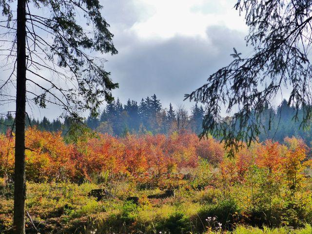 Vysoký Potok - lesní porost podél silničky do Vysokého Potoka v barvách podzimu
