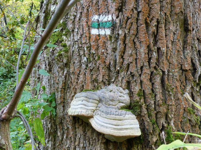 Vysoký Potok - troudnatec pásovaný na jasanu nad MŠ v horní části obce