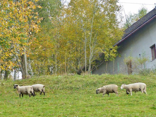 Vysoký Potok - pastva ovcí u jedné z chalup v obci