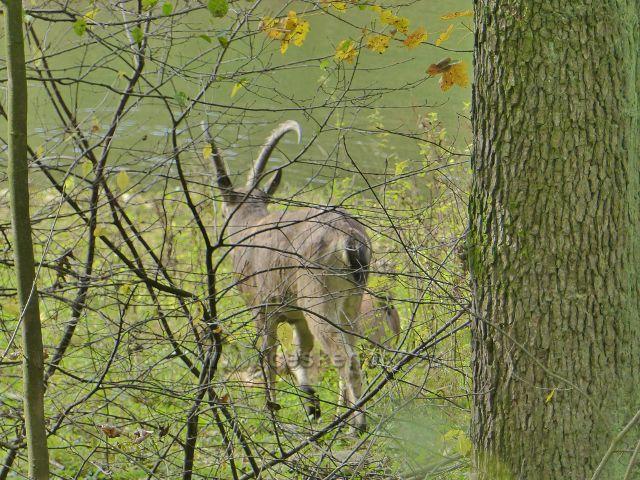 Vysoký Potok - kozorožec v soukromé obůrce