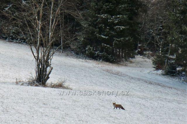 zvědavá liška