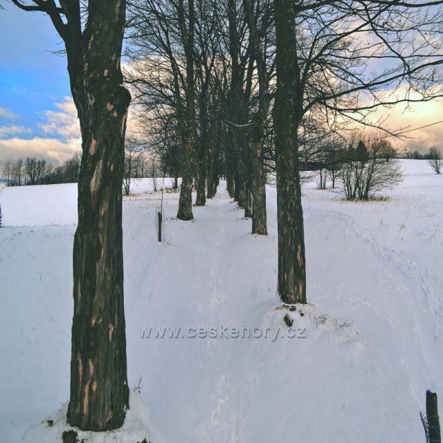 Alej na Anaberk - Andělská Hora, javor klen stáří asi 80 let.