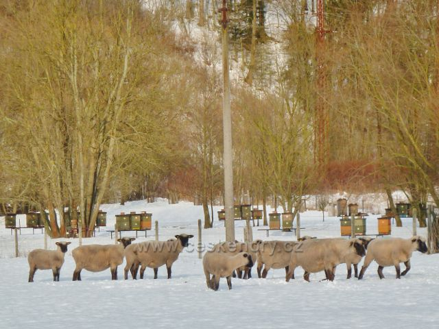 Žamberk - ovce pod Černým lesem